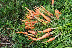 Bio carrots in nature Royalty Free Stock Photo