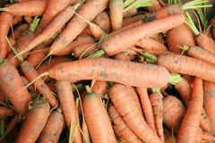 Bio carrots on the patch in the vegetable garden. Stock Photos