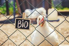 Bio chickens on a home farm. Selective focus Royalty Free Stock Photography