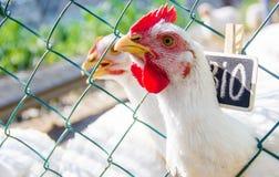 Bio chickens on a home farm. Selective focus Royalty Free Stock Photos