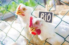 Bio chickens on a home farm. Selective focus Stock Photography