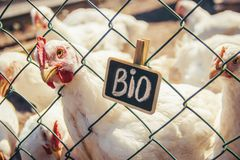 Bio chickens on a home farm. Selective focus Royalty Free Stock Images