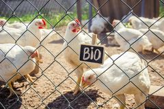 Bio chickens on a home farm. Selective focus Royalty Free Stock Image