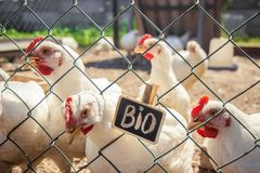 Bio chickens on a home farm. Selective focus Stock Image