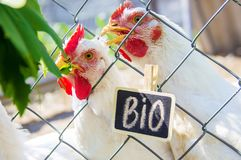 Bio chickens on a home farm. Selective focus Royalty Free Stock Photo