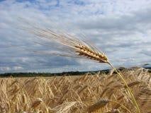 Bio combustível do trigo Fotografia de Stock