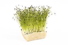 Bio- crescione fresco della erba cipollina della roccia fotografia stock libera da diritti