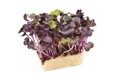 Bio- crescione rosso fresco della senape fotografia stock libera da diritti