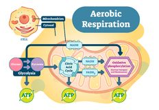 Bio- diagramma anatomico dell'illustrazione di vettore di respirazione aerobica royalty illustrazione gratis