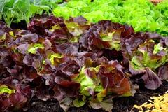 BIO ensalada fresca en jardín Imagen de archivo