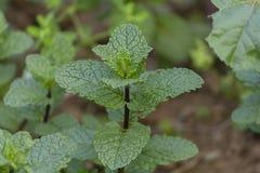 Bio- fine organica della pianta della menta su fotografie stock
