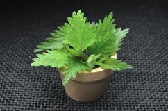 Bio- foglie di erbe dell'ortica fresca fotografie stock libere da diritti