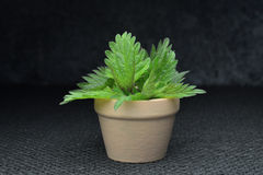 Bio- foglie di erbe dell'ortica fresca fotografia stock