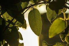 Bio- fondo verde sano fresco con fogliame vago astratto e luce solare luminosa di estate e un copyspace centrale per il vostro te fotografia stock libera da diritti