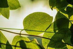 Bio- fondo verde sano fresco con fogliame vago astratto e luce solare luminosa di estate e un copyspace centrale per il vostro te immagine stock libera da diritti