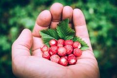 Bio fresas de la fruta estacional en una imagen de moda del estilo de la mano del hombre fotografía de archivo