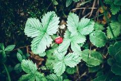 Bio fresas de la fruta estacional en una imagen de moda del estilo de la mano del hombre fotos de archivo