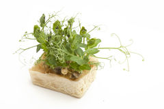 Bio Fresh Affilla Cress Stock Photo