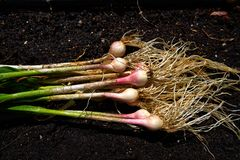 Bio fresh garlic just harvested on organic stock photos