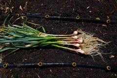 Bio fresh garlic just harvested stock photography