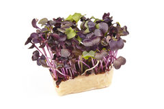 Bio Fresh Red Mustard Cress. On a white backgrounds Royalty Free Stock Photography