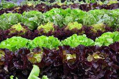 BIO  fresh salad on garden Royalty Free Stock Photos