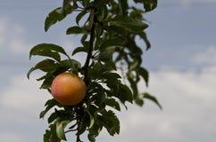 Bio- frutti crescenti fotografia stock
