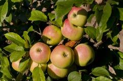 Bio- frutti crescenti fotografia stock libera da diritti