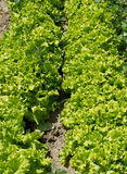 Bio green salad field detail Stock Image