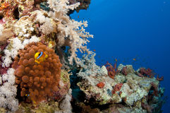 Bio illuminecent anemone on a coral reef. Anemone on a coral reef in the Red Sea in clear blue water Stock Images