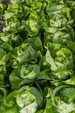 Bio- lattuga crescente fotografia stock libera da diritti