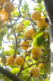 Bio lemons on lemon tree Royalty Free Stock Images