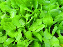 Bio lettuce Royalty Free Stock Photo