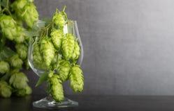 Bio- luppolo della birra fotografia stock libera da diritti