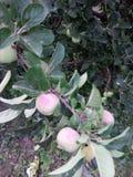 Bio maçã Fotografia de Stock Royalty Free