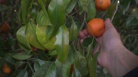 Bio oranje boom bij zonsondergang, hand op vruchten stock footage
