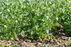 Bio peas field detail Royalty Free Stock Photography