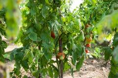 Bio- piantagione dei pomodori Immagini Stock