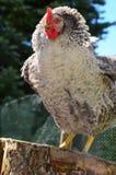 Bio- pollo esterno Immagini Stock
