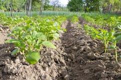 Bio pommes de terre croissantes Photographie stock libre de droits