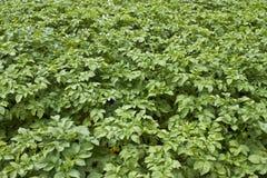 Bio potato plants Royalty Free Stock Images