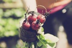 Bio rabanete de jardinagem urbano do jardim Fotos de Stock
