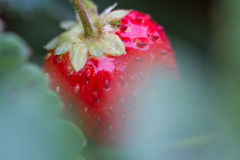 Bio red strawberry. Between leaves Stock Photography