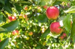 Bio rode appelen in boom royalty-vrije stock afbeeldingen
