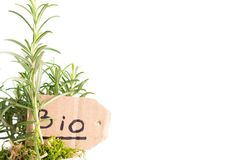 Bio rosemary plant. Organic plant of rosemary in a pot on a white background royalty free stock photography