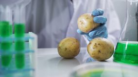 Bio scientist in gloves injects green solution or substance in genetically modified potatoes in the laboratory