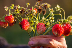 Bio red strawberries. The hand of an elderly person keeping a bunch of tasty bio strawberries  in different growth stages, picked in fall time, in the afternoon Stock Photos