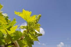 Bio- uva crescente immagini stock libere da diritti