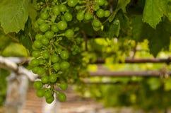 Bio uvas crescentes Fotografia de Stock Royalty Free