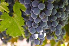 Bio uvas crescentes Imagem de Stock Royalty Free